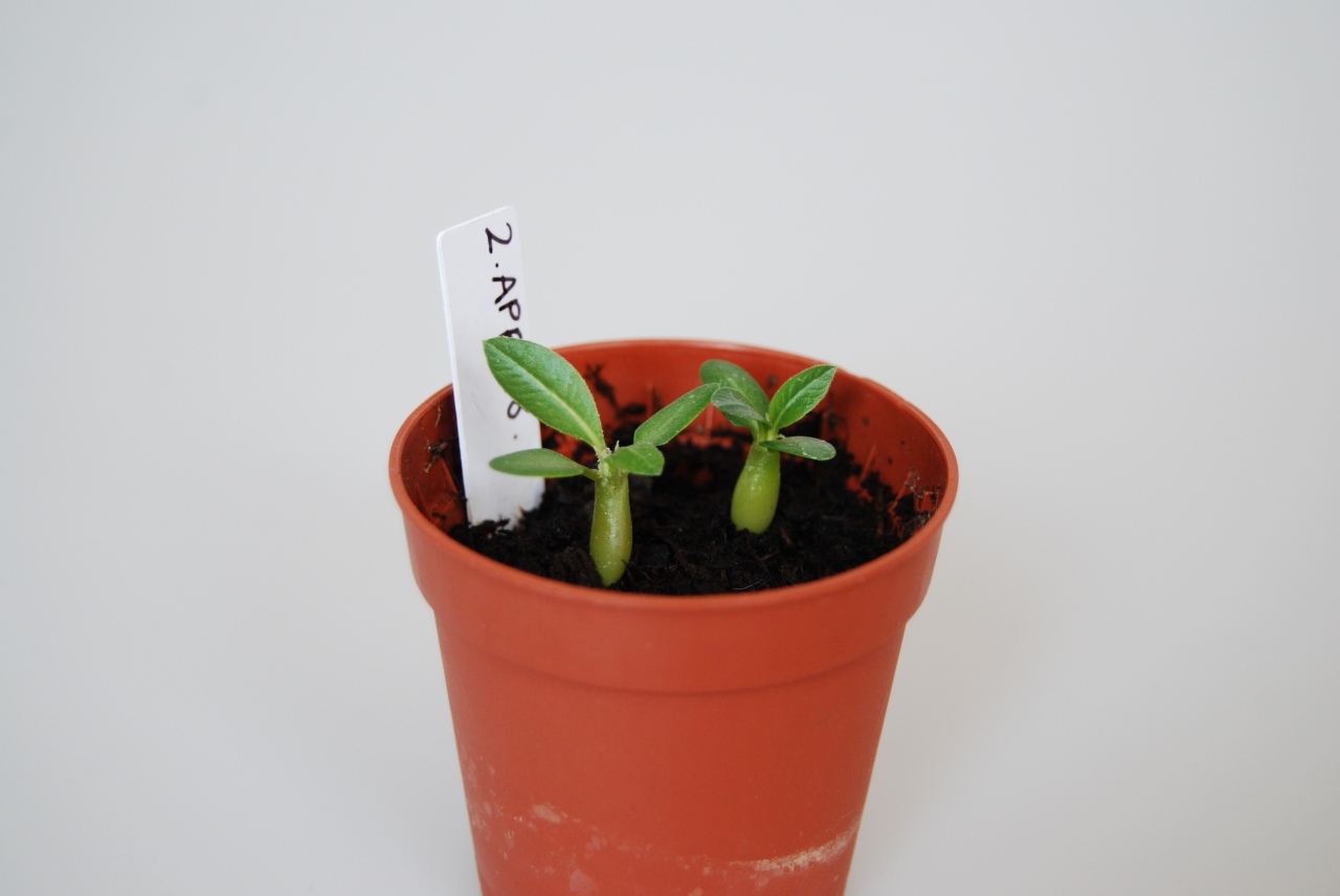 """Pachypodium Eburneum"" – germination – seedling"
