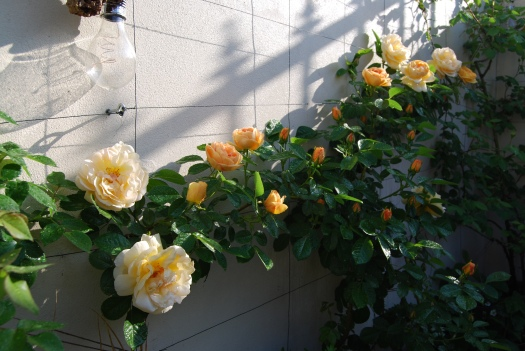 Rose, Maigold by Botany Notes