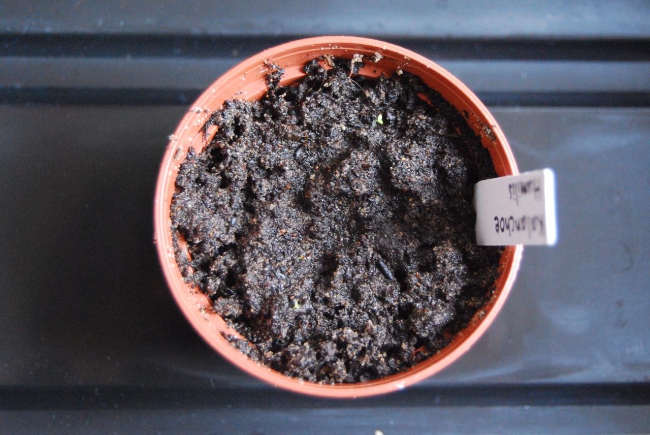 """Kalanchoe Humilis"" –germination"
