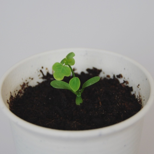 Adenia Isaloensis