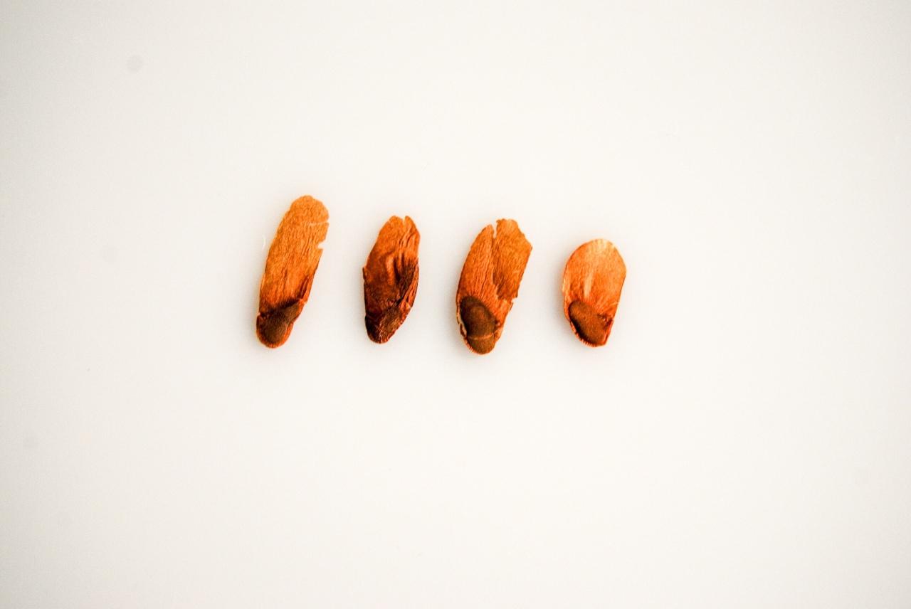 """Dioscorea Sylvatica (ディオスコレア・シルバチカ)"" – germination –Seedling"