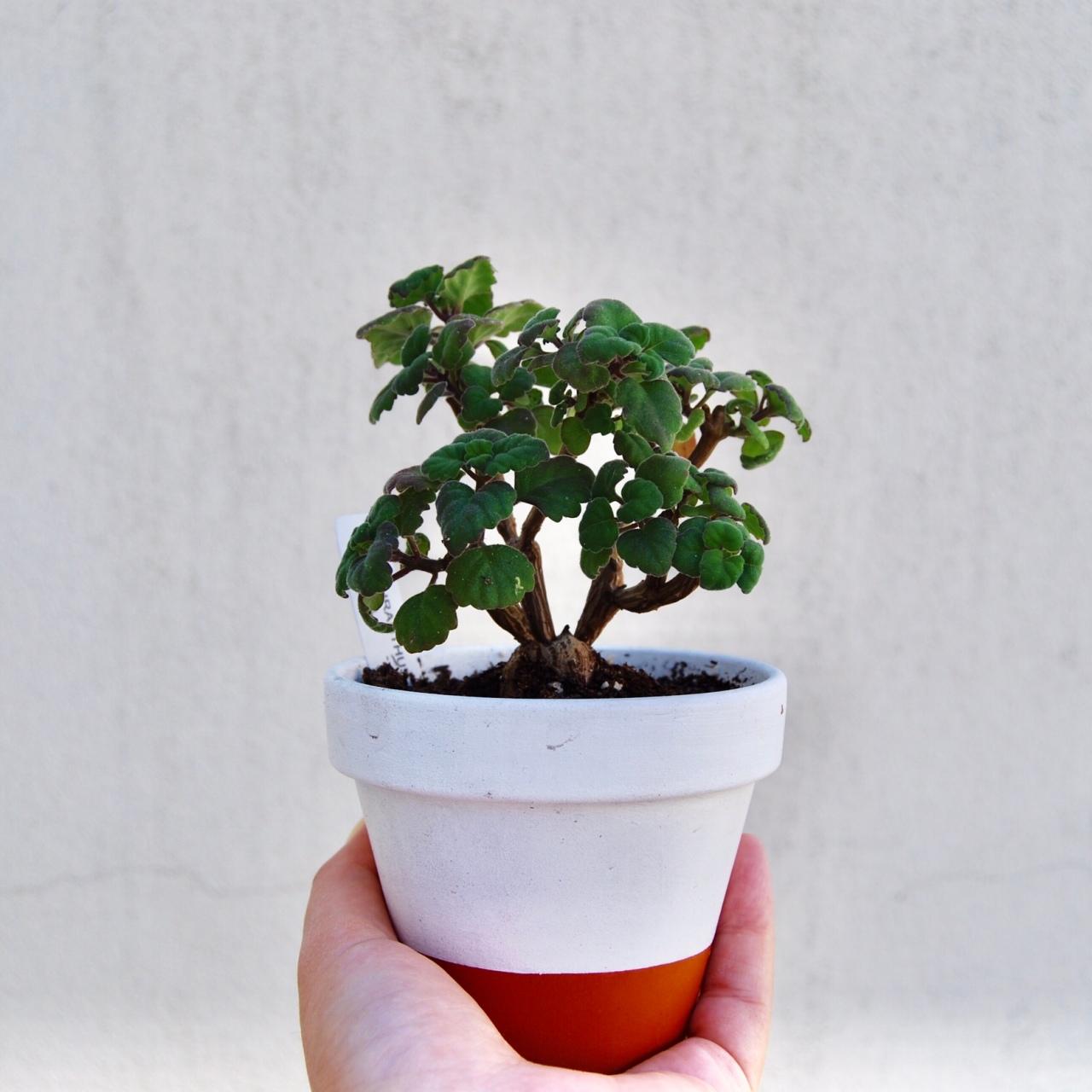 """Plectranthus Ernstii (プレクトランサス・エルンスティー)"""