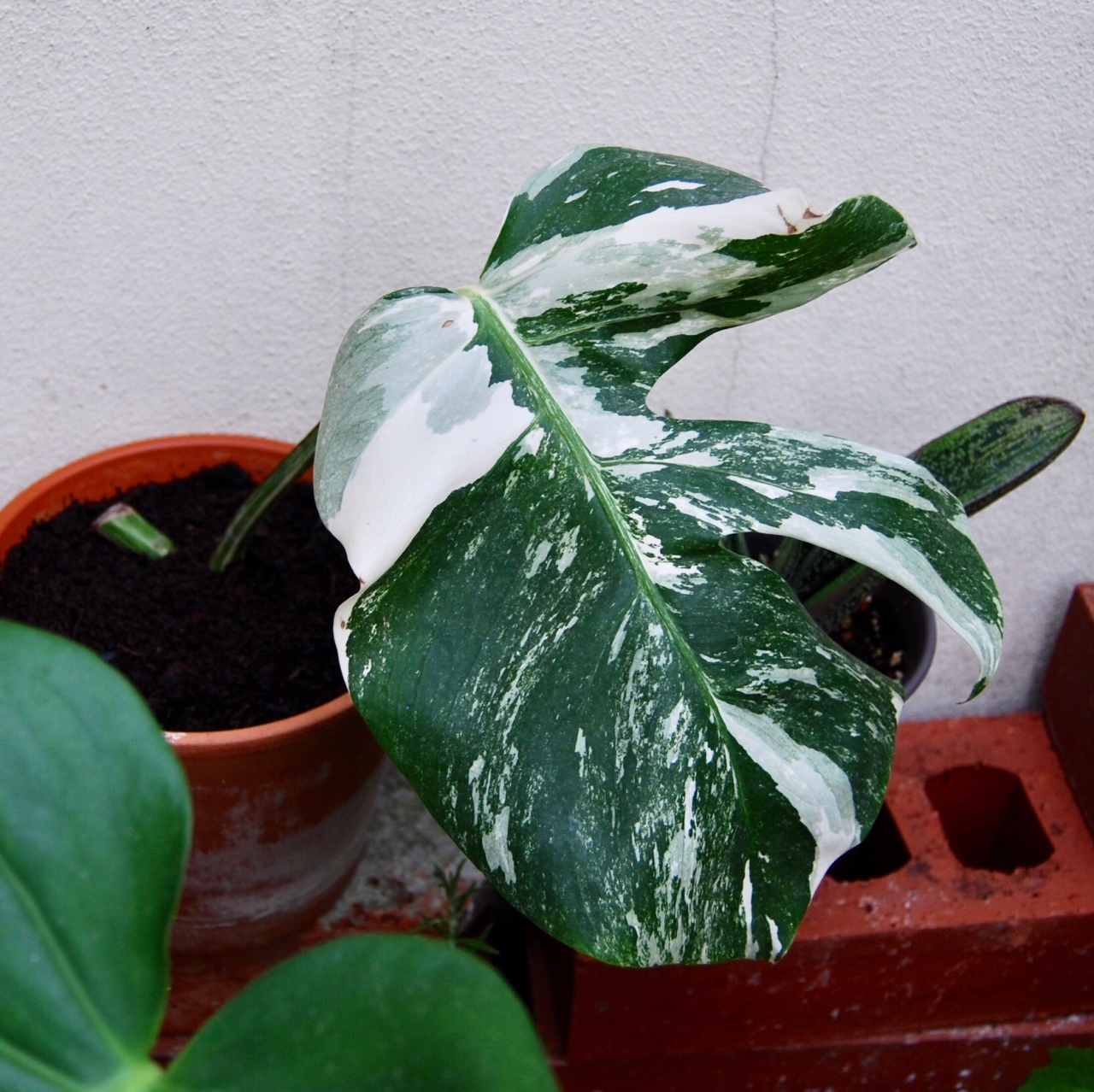 """Variegated Monstera deliciosa"""