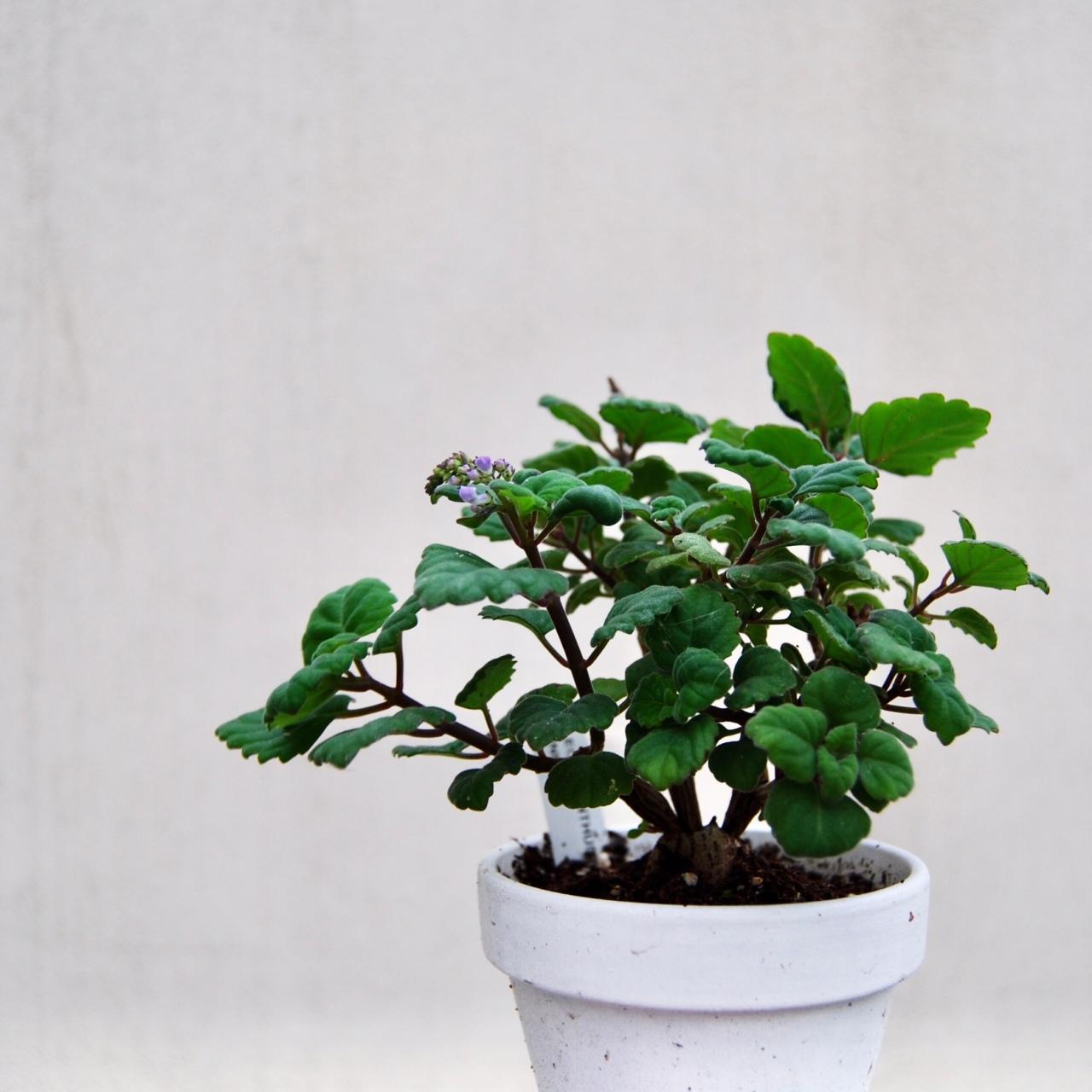 """Plectranthus Ernstii"" –flowering"