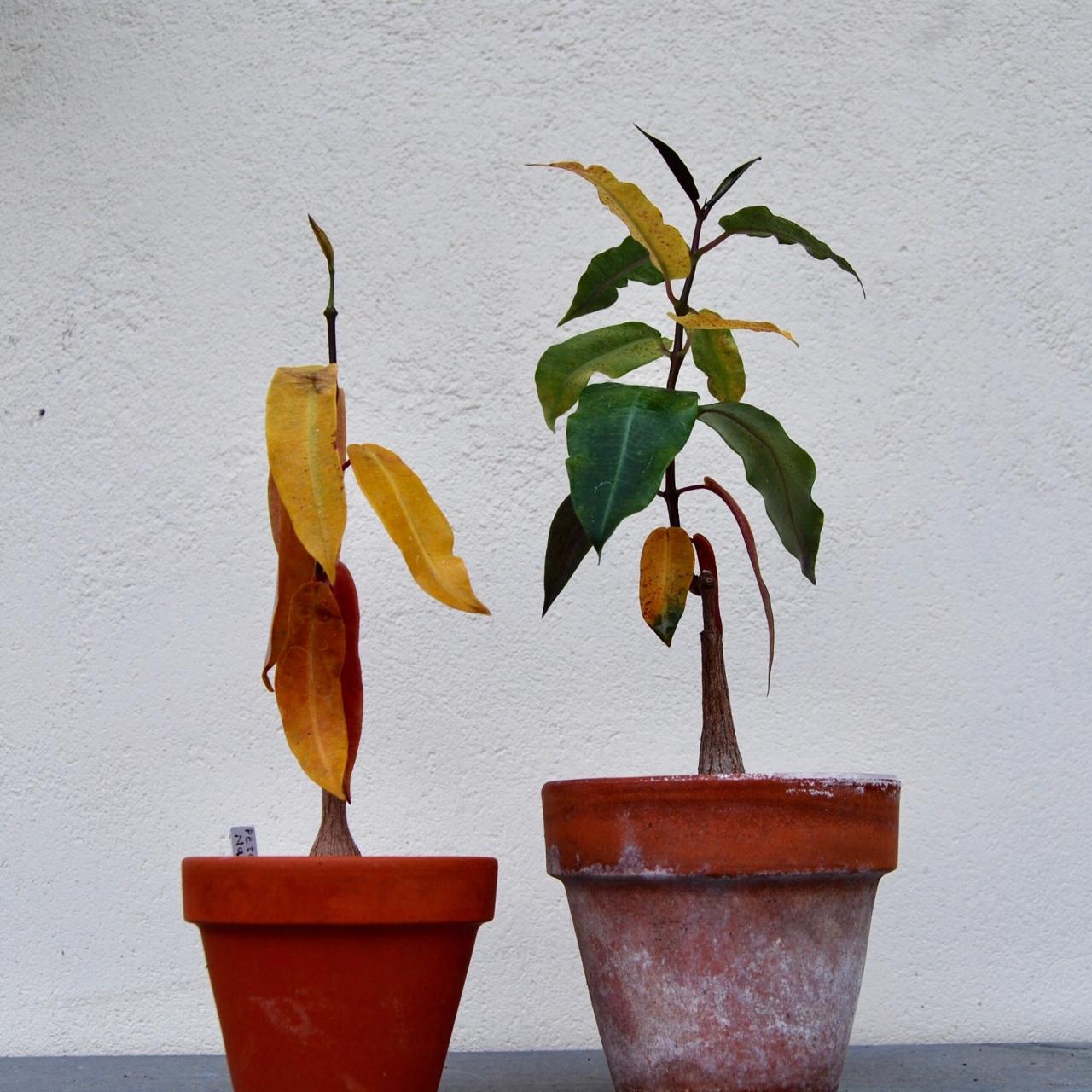 """Petopentia natalensis"" – yellowleaves"