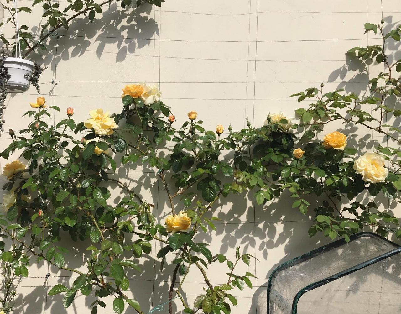 """春一番のバラ – """"Maigold"""""""