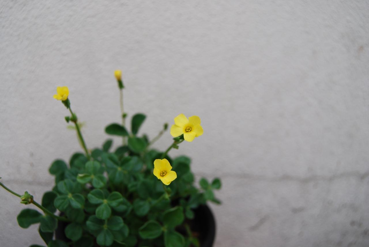 """""""Oxalis Megalorrhiza"""" –flowering"""