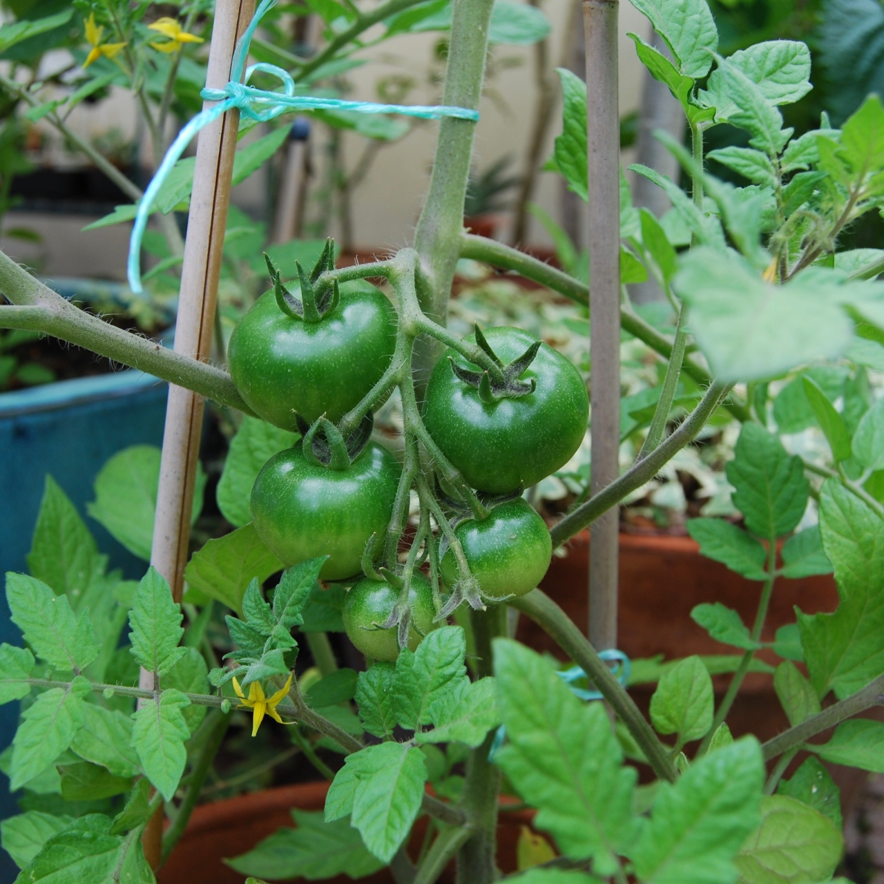 I'm growing 2 kinds of Japanese tomatos this year